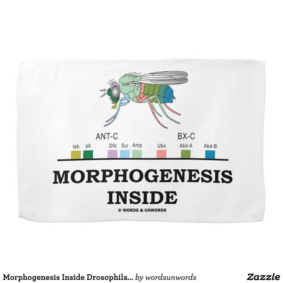 Morphogenesis Inside Drosophila Fruit Fly Genes Kitchen