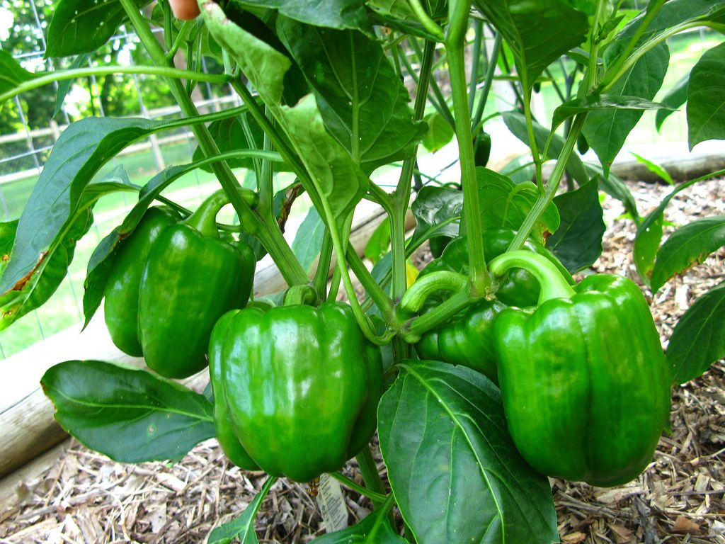 Growing peppers in your container vegetable garden for Ideas for growing vegetables