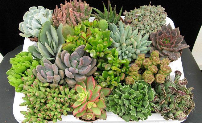 Cultivar plantas crasas o suculentas