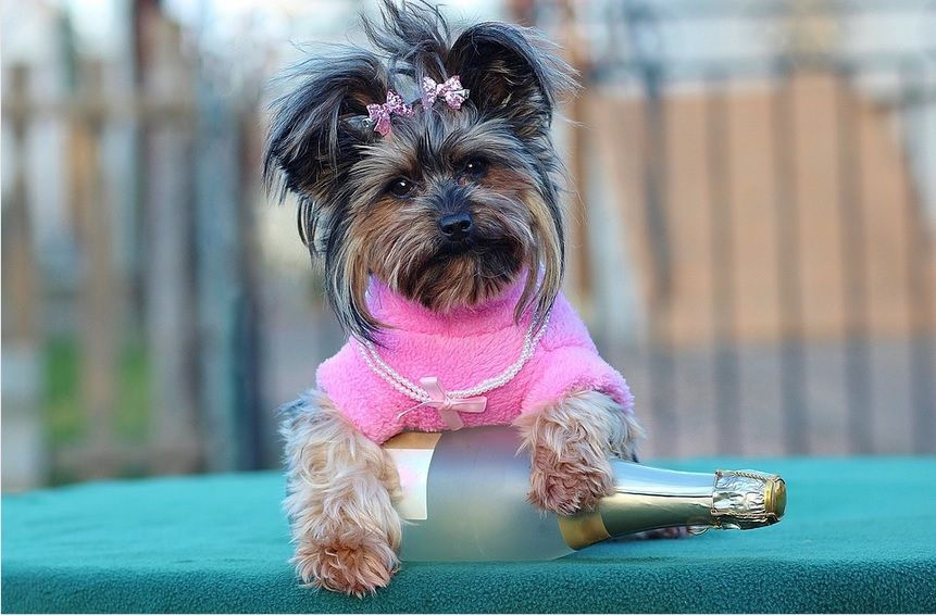 How You Can Stop Yorkie Biting And Nipping Yorkiebiting Yorkienipping Yorkie Pet Safe Yorkshire Terrier Puppies