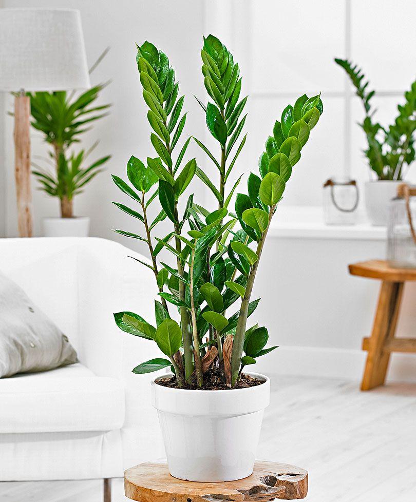 zamioculcas als kontrast in einem schlichten interieur pretty plants. Black Bedroom Furniture Sets. Home Design Ideas