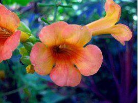 Indian Summer Trumpet Vine Plant - Campsis - 2.5