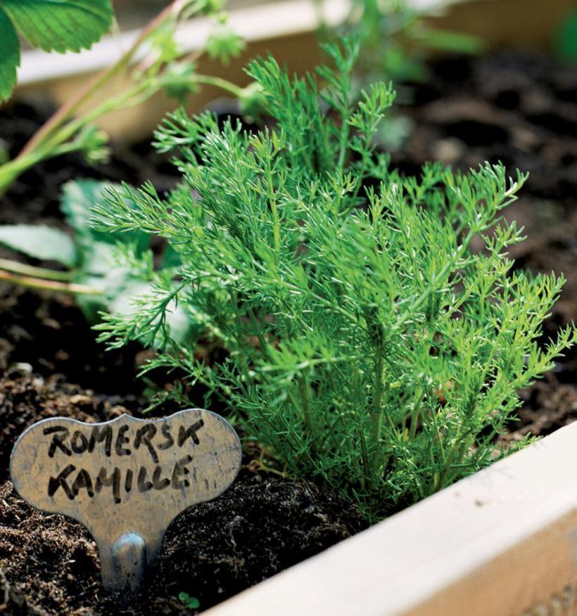 Jalosauramosta (Chamaemelum nobile) saa parhaan kamomillateen.