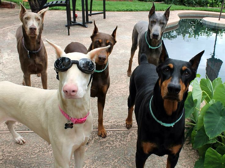 Doberman Colors Black Rust Red Also Called Chocolate Dobermans