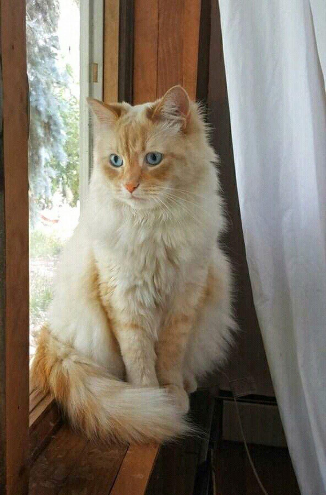 Persian Cat Facts Pretty Cats Cats Beautiful Cats