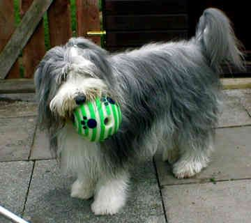 Bearded Collie She Looks Exactly Like My Beloved Dog Maia There