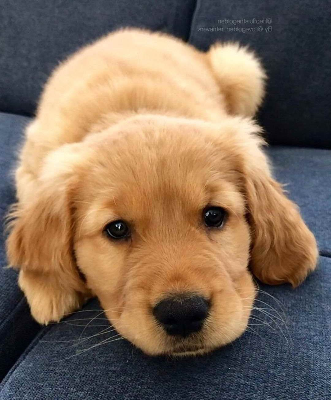 Baby Golden Retriever Niedliche Welpen Babyhunde Und Madchen