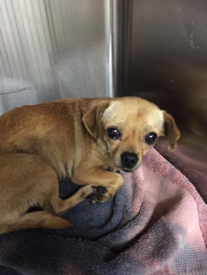 Chug Dog For Adoption In Aurora Co Adn 551354 On Puppyfinder Com