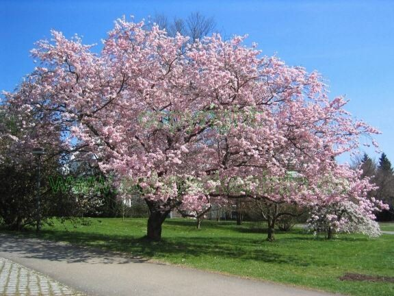 Prunus accolade flowering cherry std bare for Arbre ombre croissance rapide