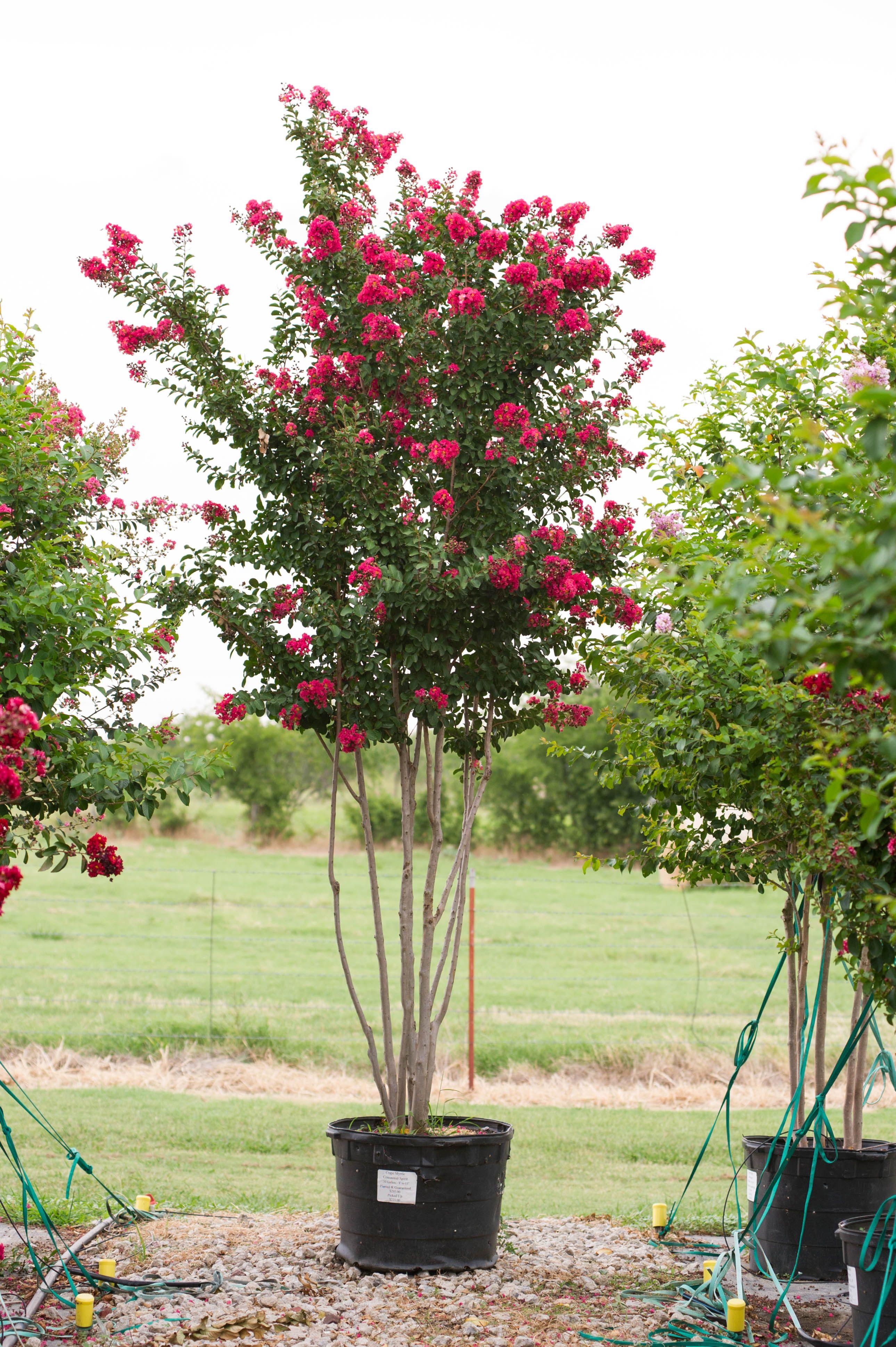 Pin On Flowering Trees Amp Shrubs