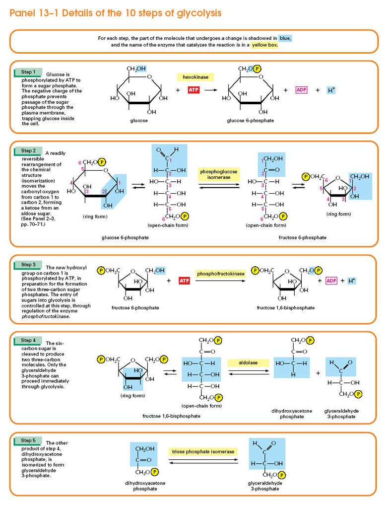 Details of the 10 Steps of Glycolysis: Part 2 of 2 | Mcat, you die ...