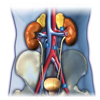 1.untere Hohlvene (Vena cava inferior) 2.Bauchschlagader (Aorta ...