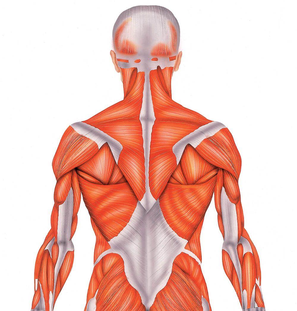 Músculos del cuerpo humano - Doctissimo | Músculo y huesos ...