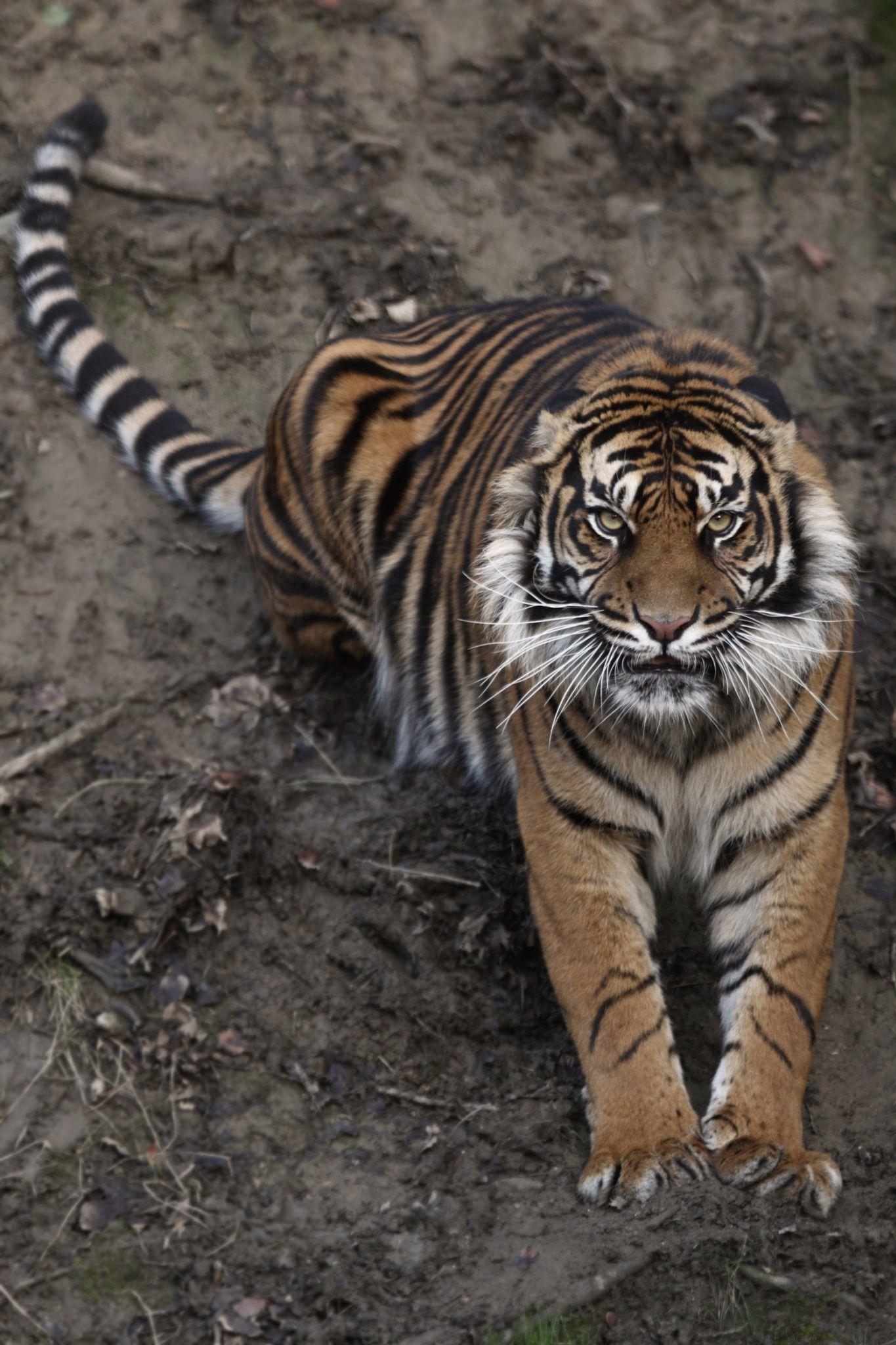 It Will Kill You: Tiger