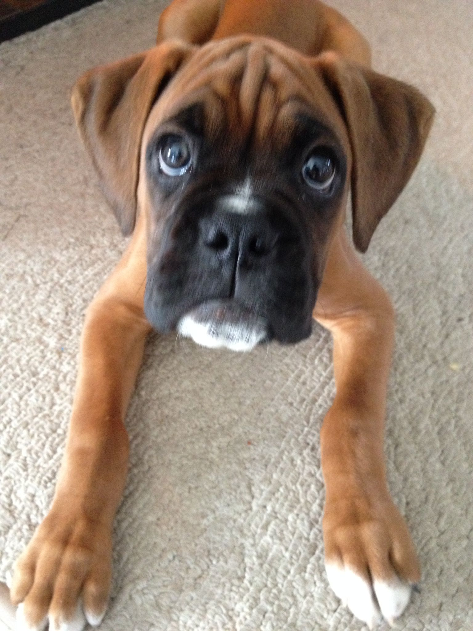 Baby boxer slater boxer puppies boxer pup