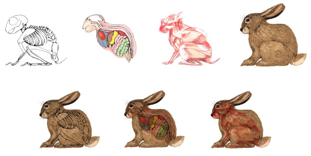 Rabbit Muscular System Diagram - Search For Wiring Diagrams •