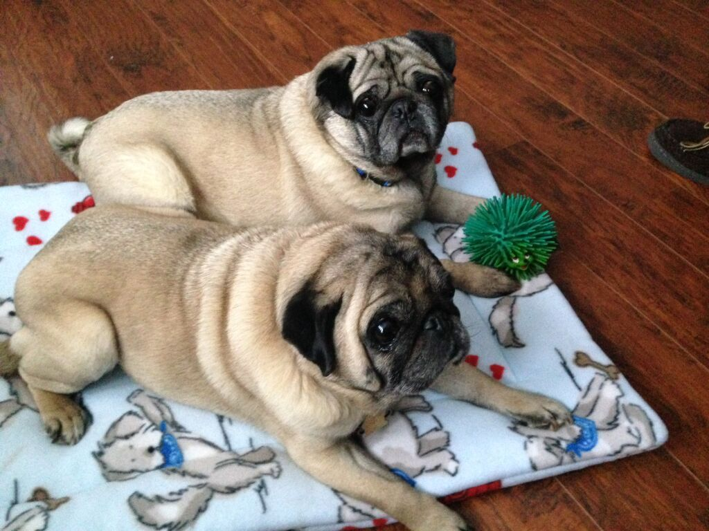 Eugene And Franklin Are Contestants In The 2016 Pug Rescue Network