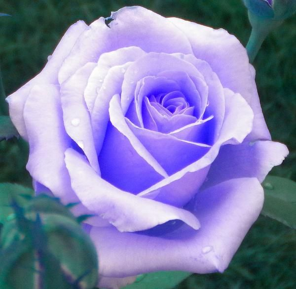 Lavender Purple Rose Prints and Cards Available @fineartamerica.com