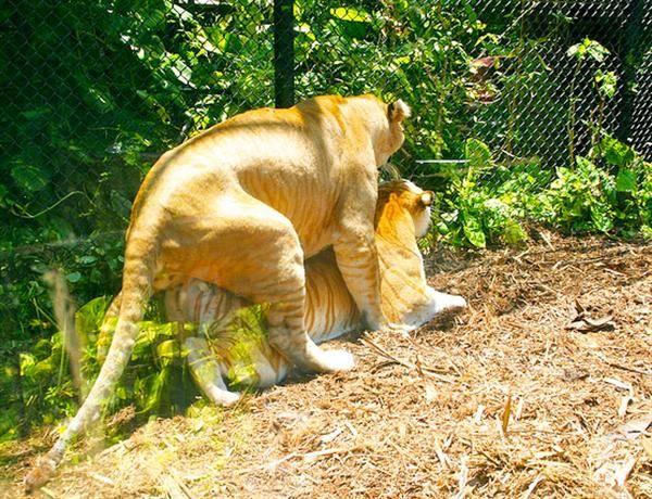 how to make a liger