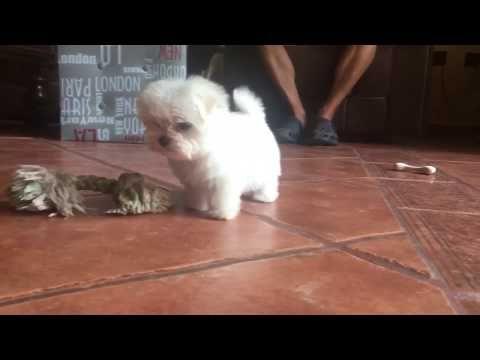 Bebé Bichon Maltes Toy Youtube Bichon Maltes Perros Pequeños Más Lindos Maltes