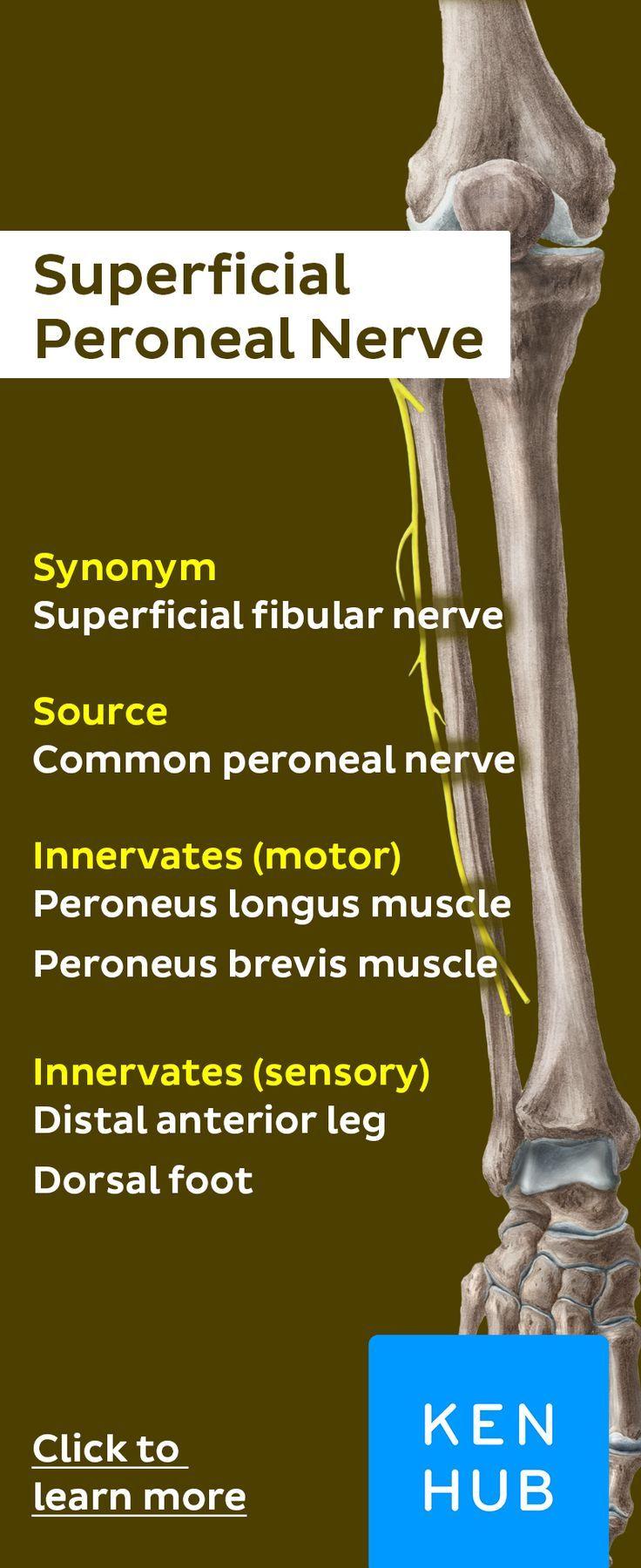 Deep Peroneal Nerve Anatomy Pinterest Anatomy Nerve Anatomy