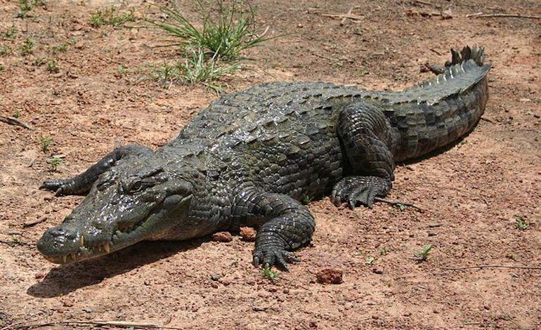 What Animals Live In The Sahara Desert? Nile crocodile
