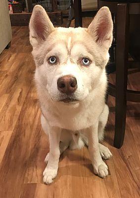 Snohomish Wa Siberian Husky Meet Ruxin Remarkable Boy A Dog