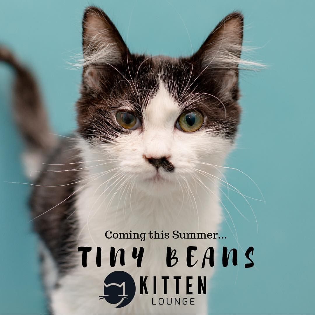 Finally After Planning This For Over A Year Las Only Nonprofit Cat Cafe Catcafe Lounge Presents Tiny Beans Kitten Lounge Yes Cat Cafe Cat Adoption Kitten