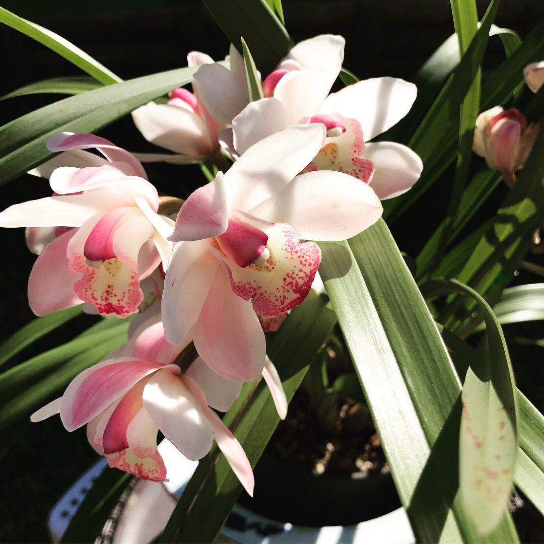 Cymbidium orchids orchids pinterest cymbidium orchids