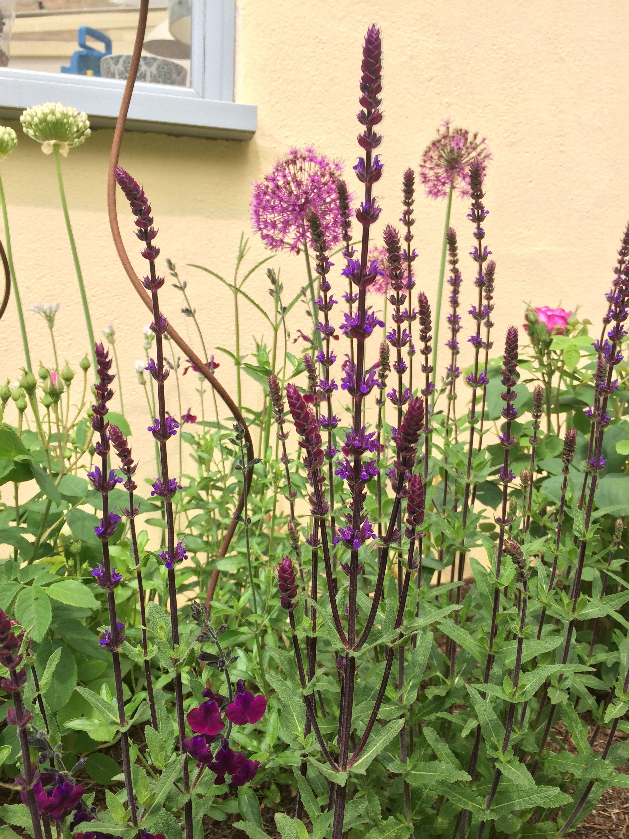 Salvia Nemerosa Caradonna Salvia Jamensis Nachtvlinder Allium Purple Sensation English Garden Plants Salvia