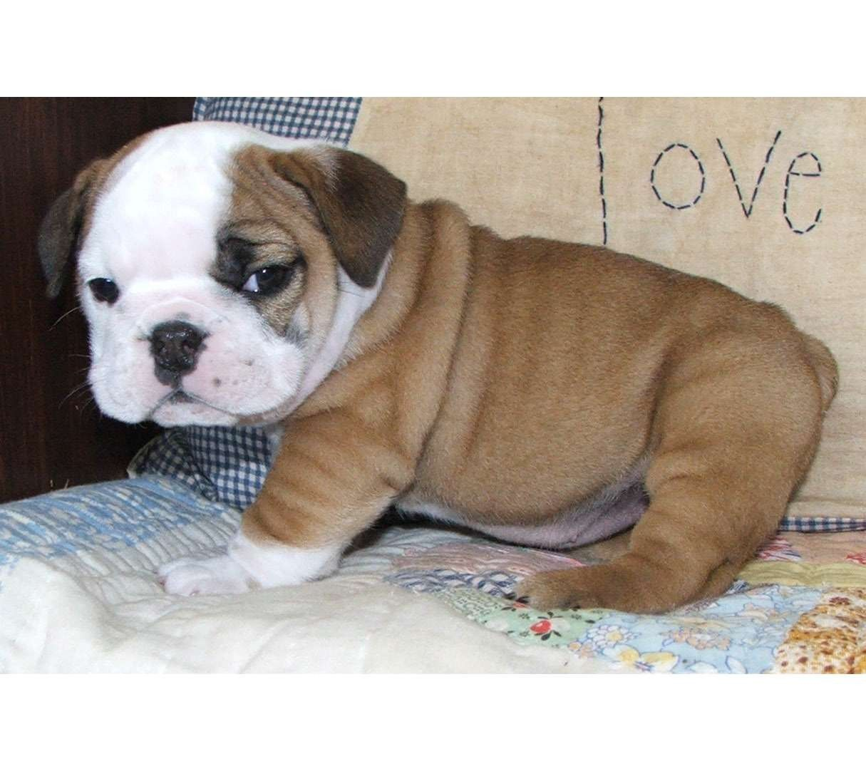 English Bulldog Puppies And Kitties Miniature English Bulldog