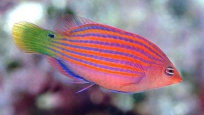 Johnny Jensen Six Line Wrasse Saltwater Aquarium Fish Sea Fish Tropical Fish