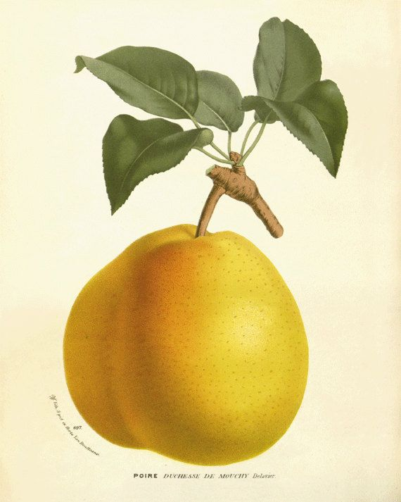 Pear Vintage fruit print Botanical Prints Home by AntiqueWallArt ...