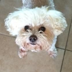Adopt Gracie On Bichon Rescue Puppy Pads Little Dogs