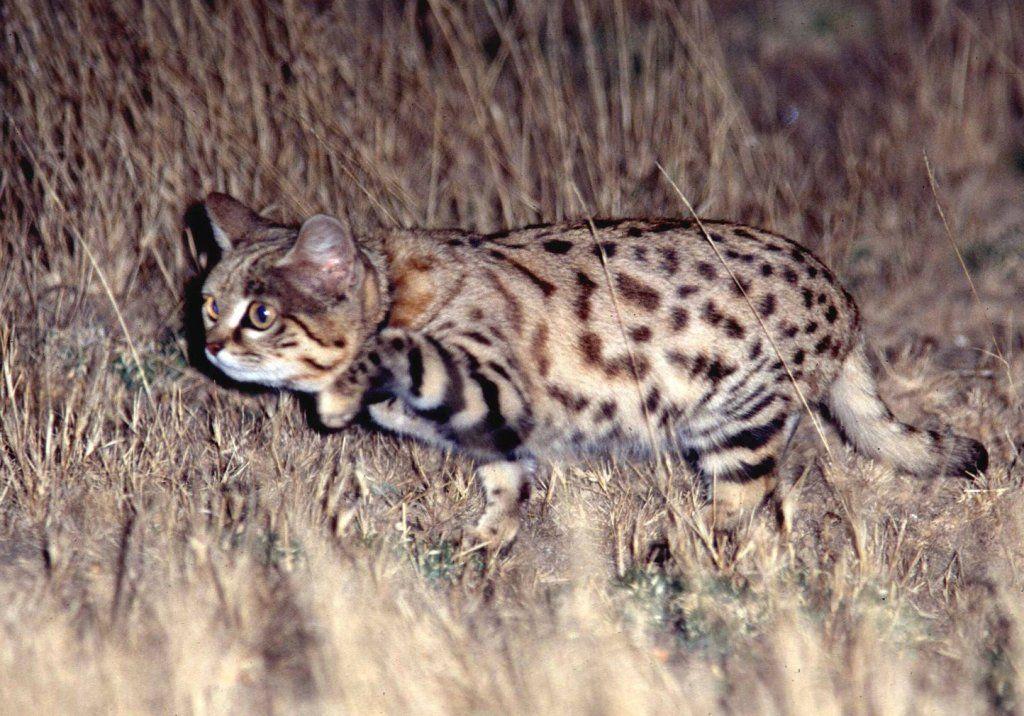 一見の価値有り 世界最小種の猫 クロアシネコ が可愛い ペット日和 子猫 ペット 猫