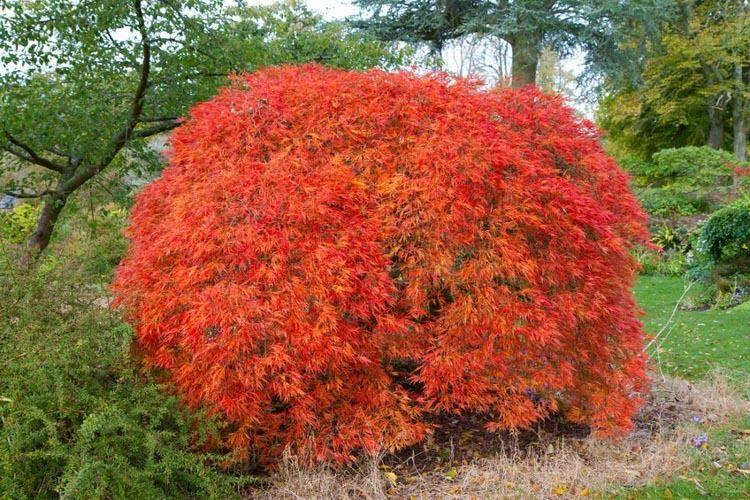 Acer Palmatum Dissectum Atropurpureum Japanese Mapledissectum
