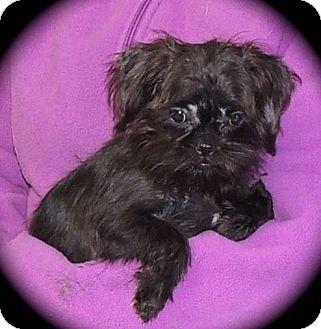 Joplin Mo Brussels Griffonshih Tzu Mix Meet Roxy A Puppy For