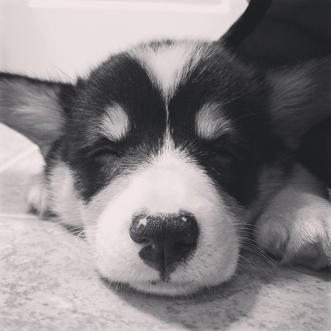 "Corgi Puppy Asleep Moose the Corgi Instagram  ""Good Night Moon ⭐ #corgi #puppy #corgination #corgicommunity #corgparents #hello #puppyeyes #instapet #instadaily #instalike #dog #dogsofinstagram…"""