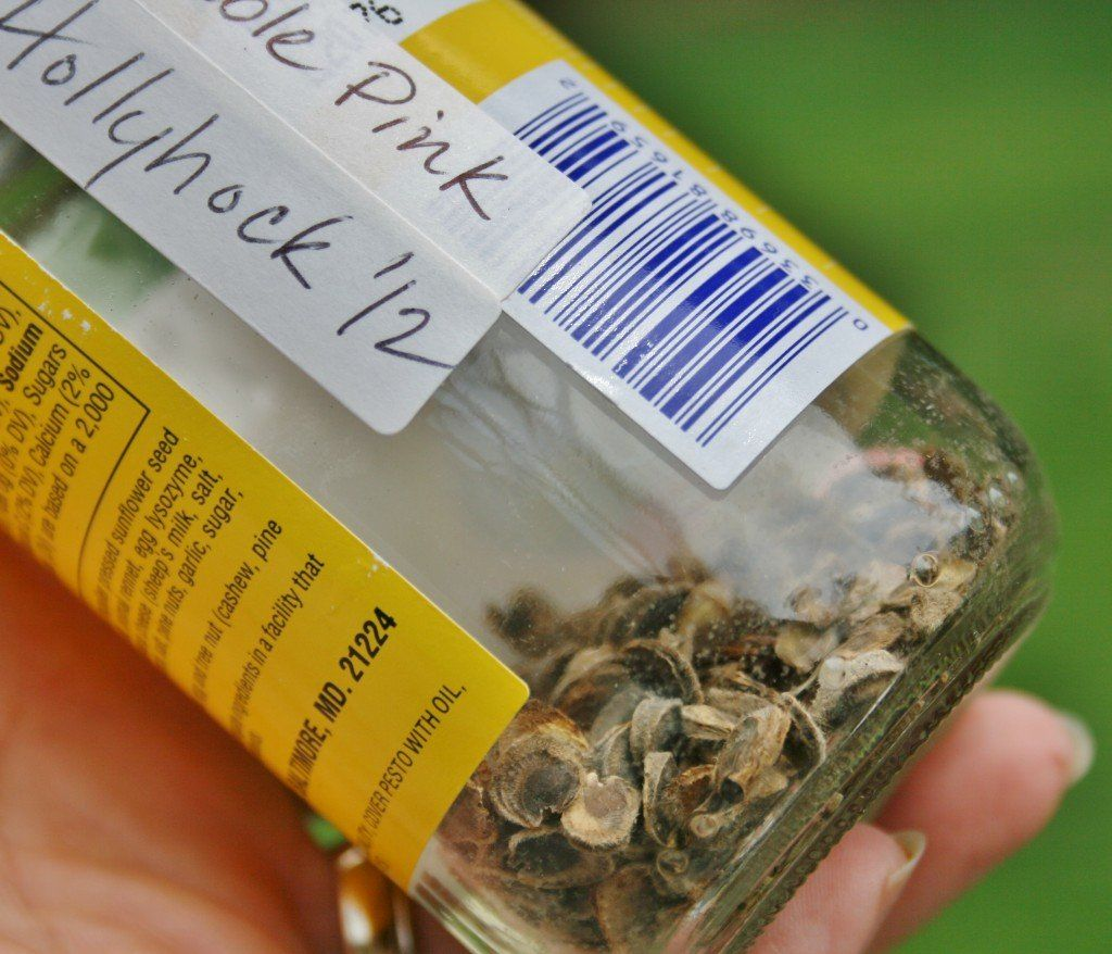 Photo of Quick Guide to Collecting and Storing Hollyhock Seeds