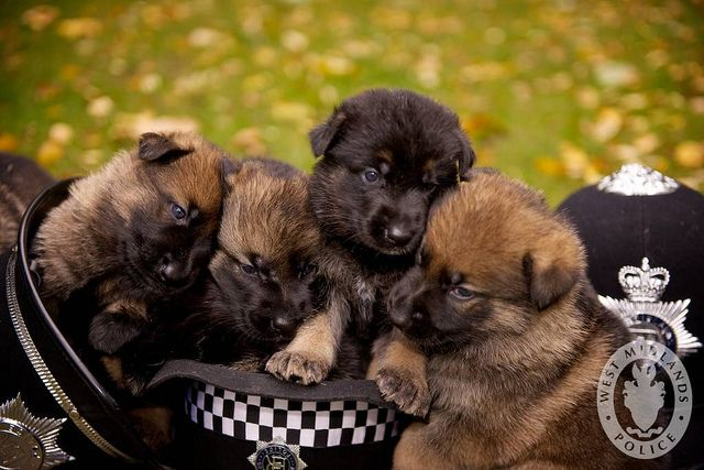 Day 34 West Midlands Police Dog Puppies Puppies Cute Puppies