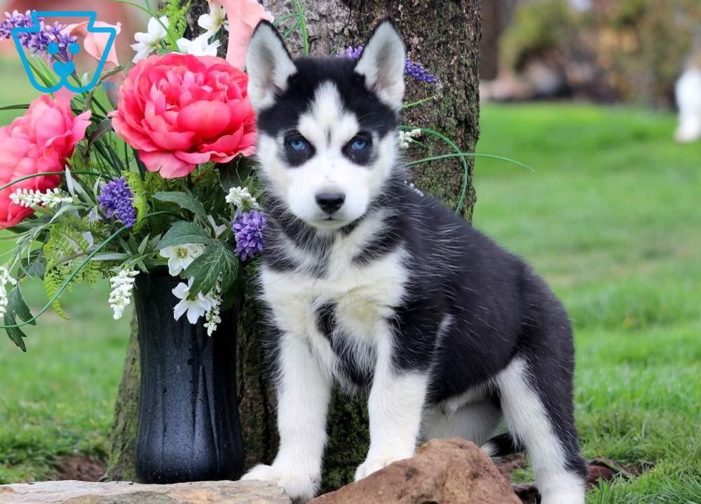 Arrow Siberian Husky Puppy For Sale Keystone Puppies In 2020 Husky Puppies For Sale Husky Puppy Siberian Husky