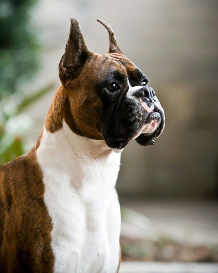 Boxer Puppies For Sale In Ventura County References