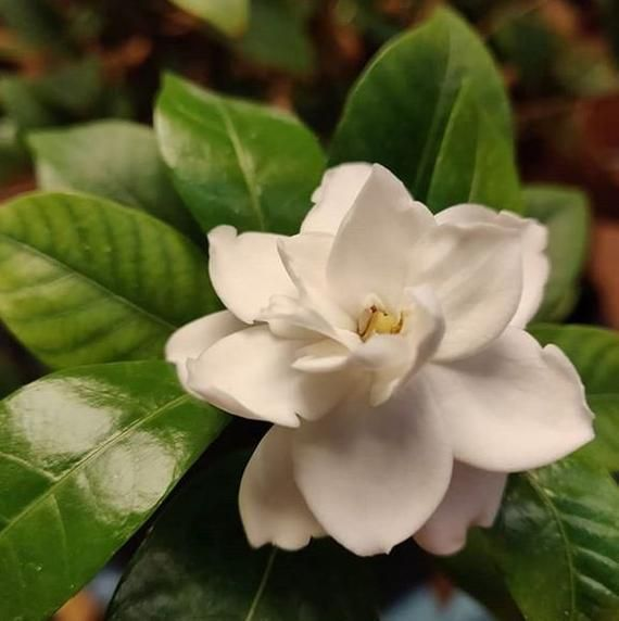 20 Seeds New Rare Heirloom White Fragrant Gardenia Capejasmine Flower 100 Genuine Seeds Garden Fl