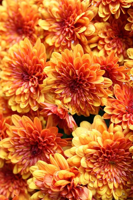 Pin By Persephone Sunset Moonstone On Inch By Inch Row By Row Orange Flowers Beautiful Flowers Chrysanthemum