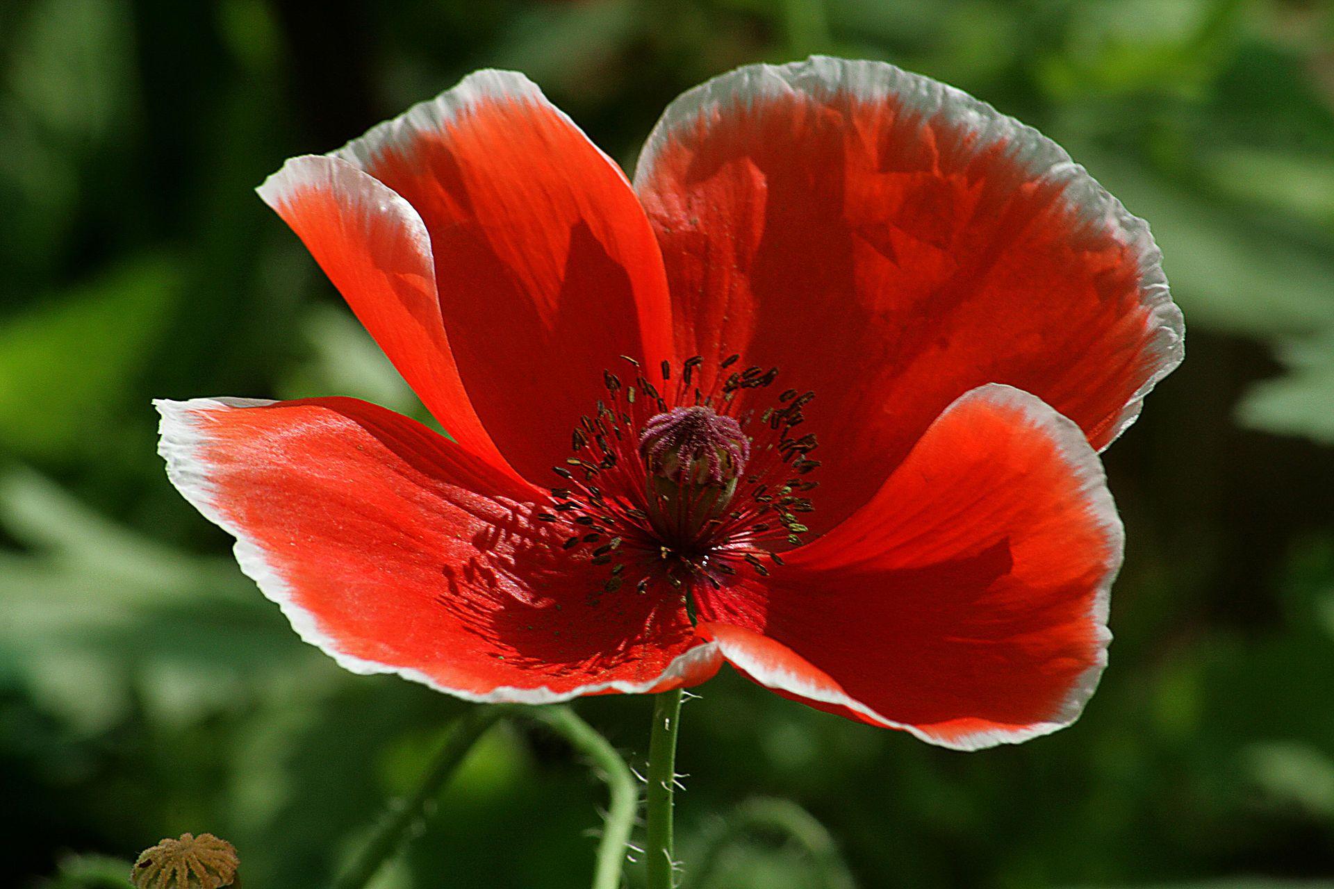 Red Poppie Poppy Wikipedia The Free Encyclopedia Vri Field
