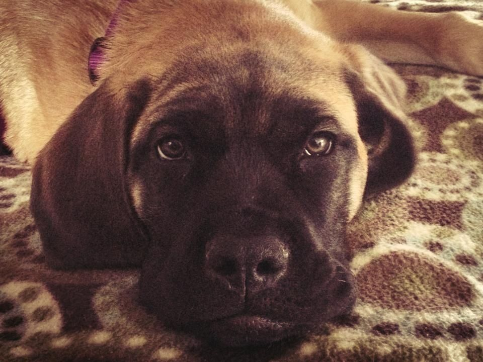 My English Mastiff Puppy! Mastiff puppies, English