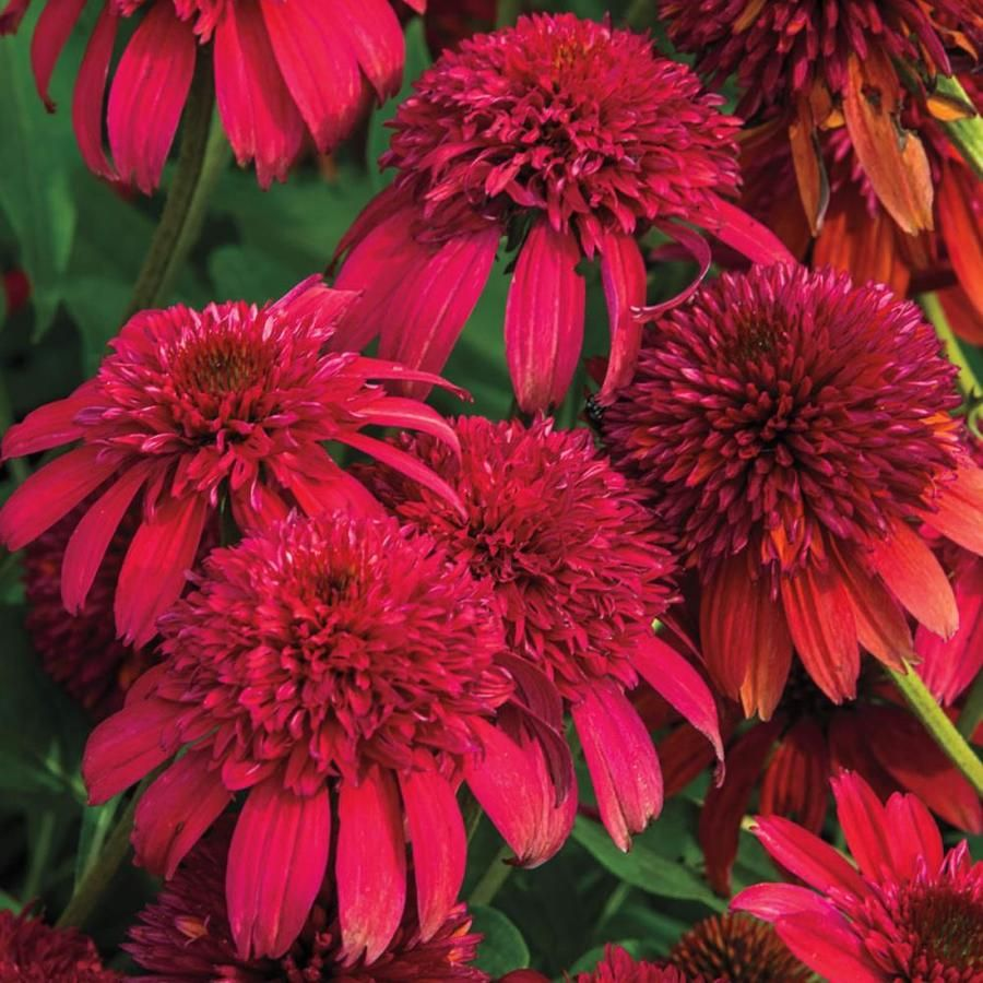 Gardens Alive 12 Oz Pack In Pot Double Scoop Coneflower Echinacea Potted Lowes Com Echinacea Spring Hill Nursery Plants