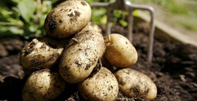 Картофель состав, применение картофеля