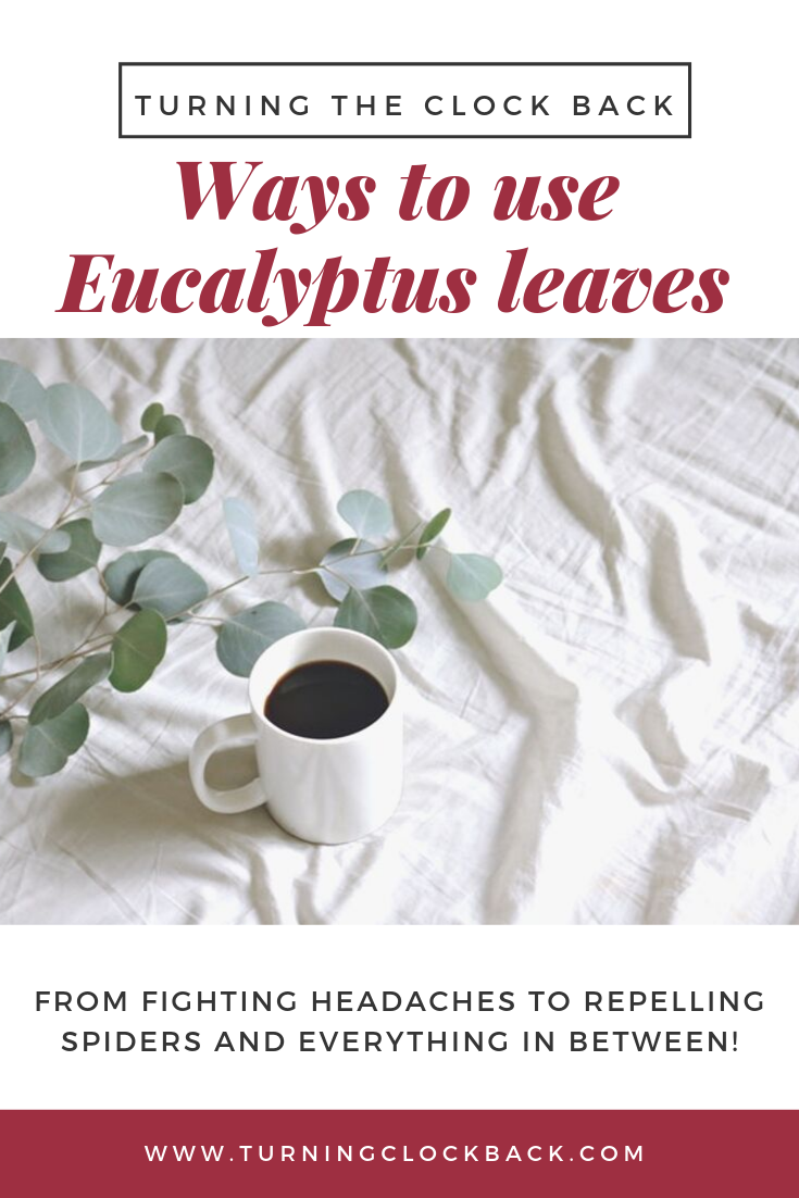 Creative Uses For Eucalyptus Leaves For Home And Health Eucalyptus Leaves Fresh Eucalyptus Eucalyptus