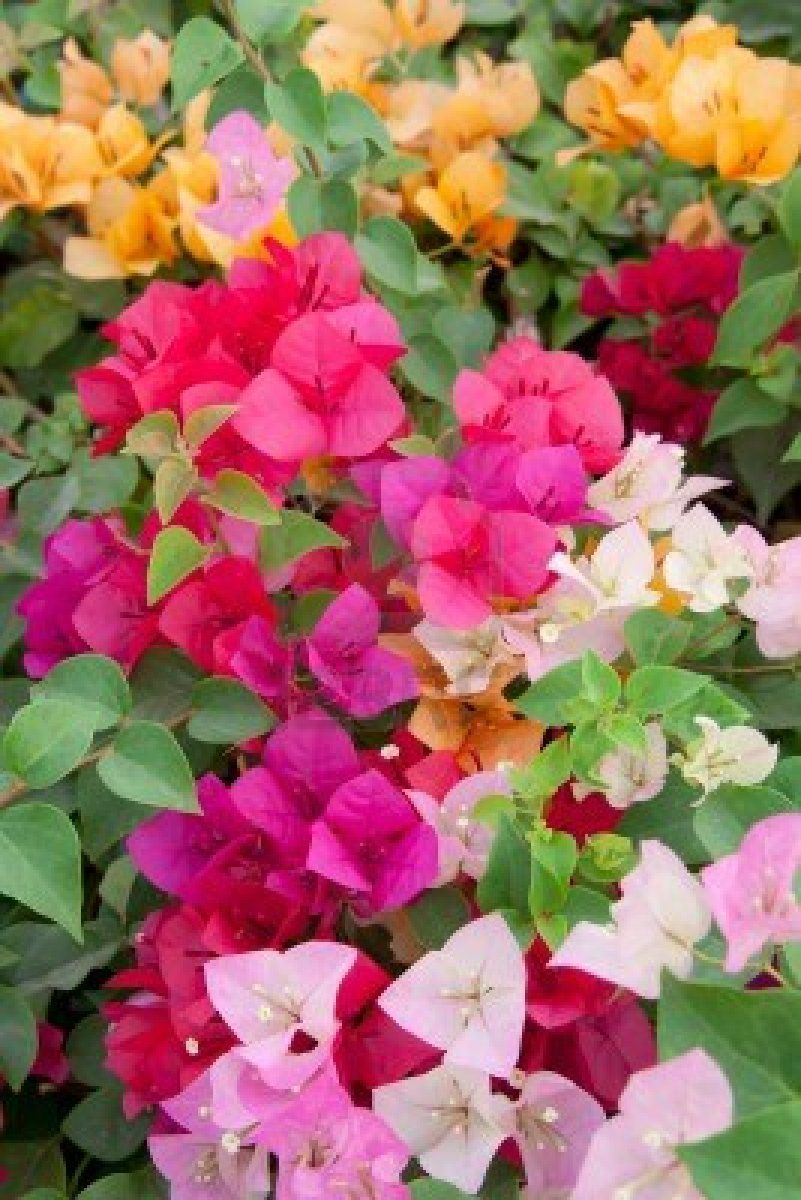 Beautiful Multi Colored Bougainvillea Paper Flowers Flowers And